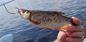 Florida bass wild golden shiner